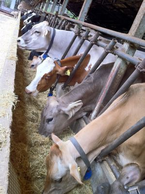 かあさん牛たち.jpg