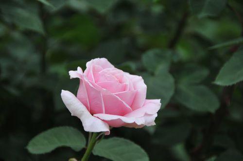薔薇052301.jpg
